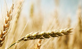 A new drought-proof gene for barley and wheat discovered by UQ researchers could change everything for Aussie farmers under the toughest conditions.