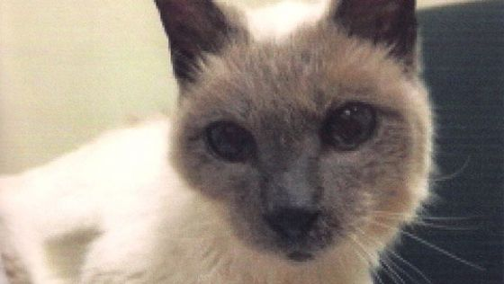 Guiness Book of World Records: Scooter the Siamese cat