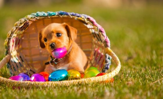 will-you-be-covered-if-your-pet-eats-chocolate-this-easter